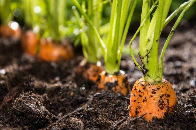 quand récolter les carottes carottes dans le sol