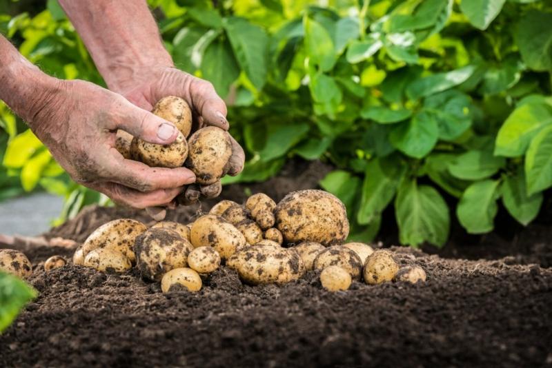 quand récolter les pommes de terre le ramassage de pommes de terre
