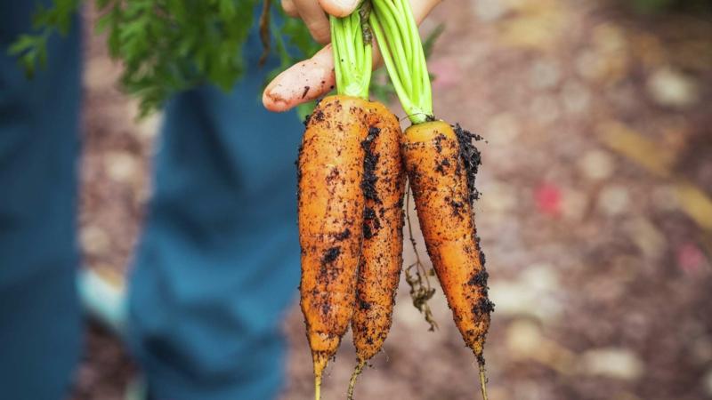 quand recolter carotte trois carottes fraîchement récoltées de la terre