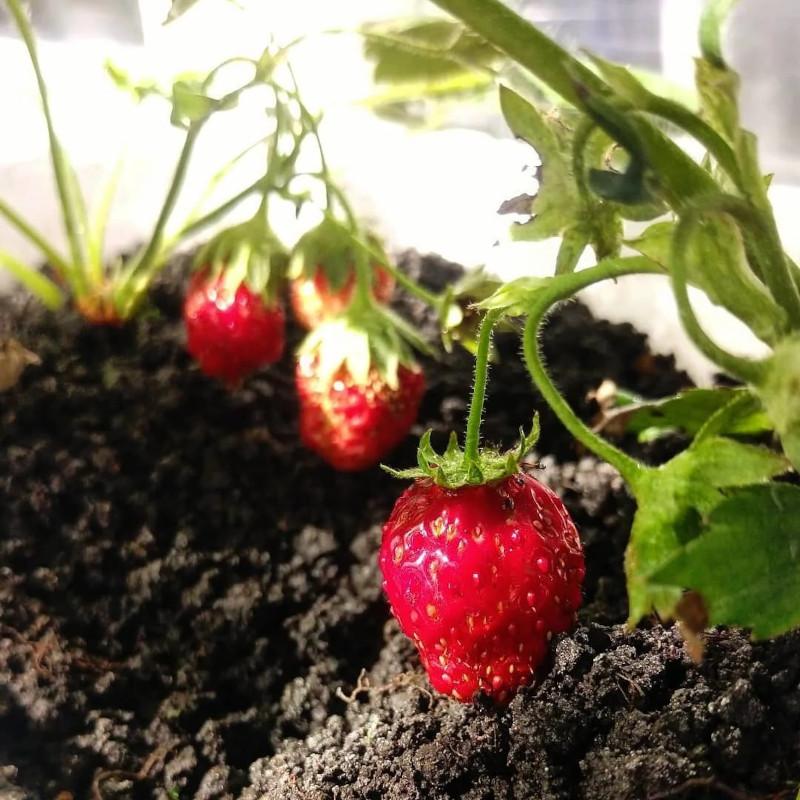 quand repiquer les fraisiers en pleine terre et cueillir ses fruits