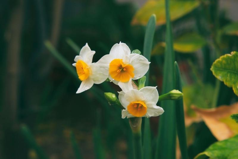 quelle plante d automne planter pour pousser printemps narcisse