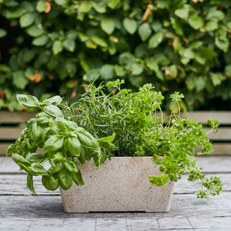 quelles plantes aromatiques planter ensemble dans le même pot ou bac à herbes fraiches