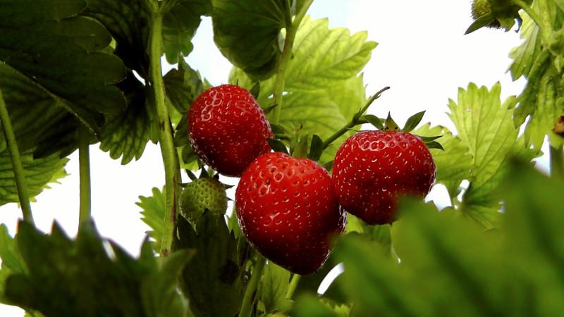 qunad planter des fraisiers en pleine terre bons fruits de fraises