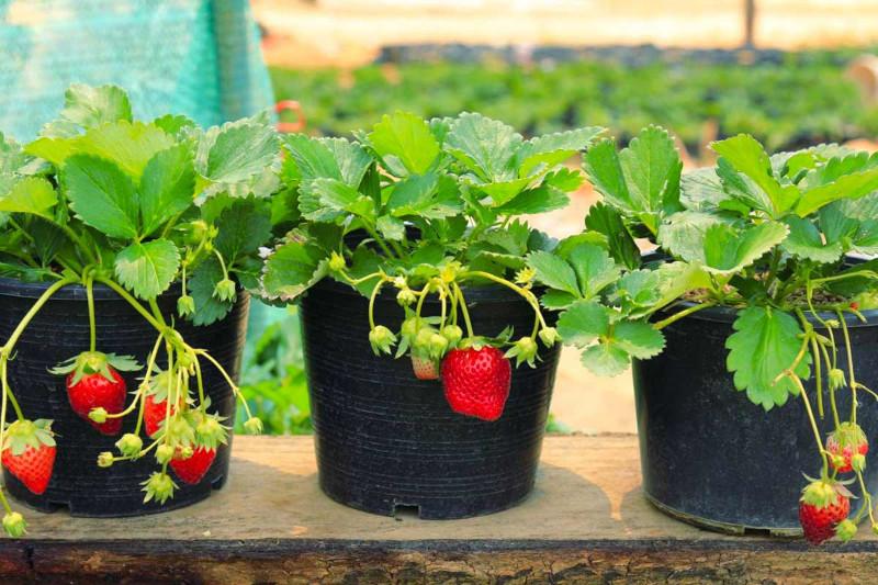 qunad planter les fraises en pots et en pleine terre plante d exterieur