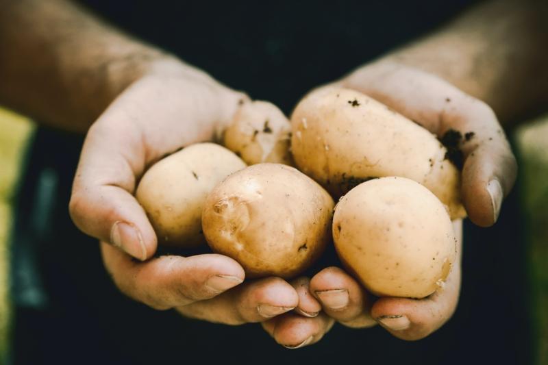 recolte pomme de terre creux de la main qui tiennent des pommes de terre