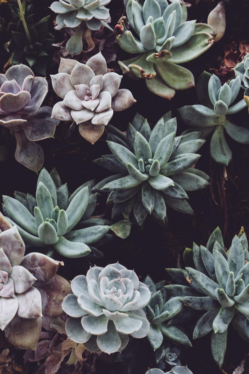 succulentes plante grasse exterieur resistant au gel succulentes vertes