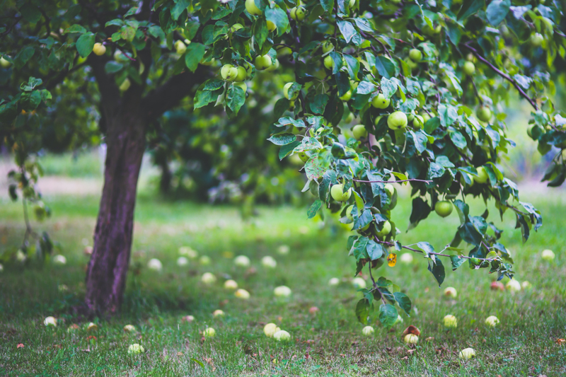 variétés de pomme un grand pommier qui donnent des pommes vertes