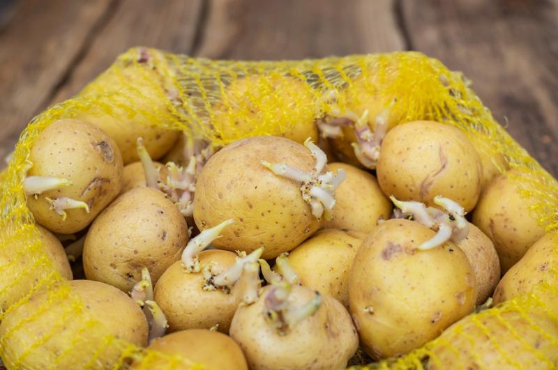 peut on manger des pommes de terre germées pommes de terres dans un sac