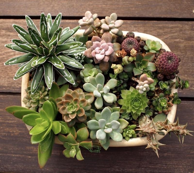 plante succulente espèces représentatives contenant arrangement