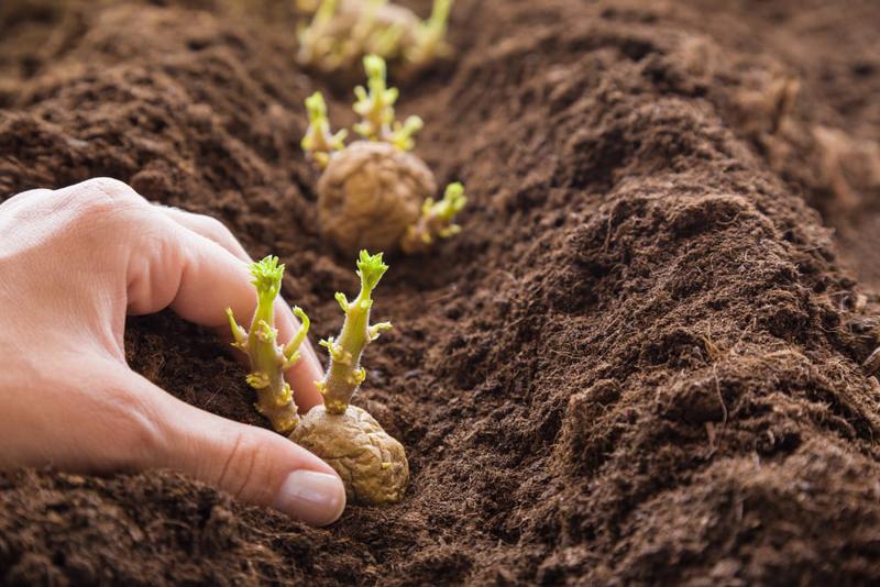 planter des pommes de terre germées mettre des germes dans le sol