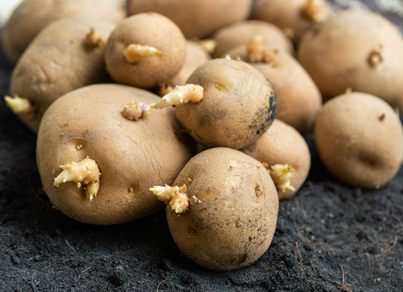 pommes de terre germées un tas de pommes de terre