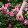 quand tailler les rosiers une femme qui taille un rosier buisson