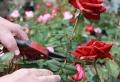 Quand tailler les rosiers et comment stimuler leur croissance ?